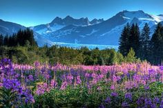 Alaska - Mendenhall Glacier in Juneau, surrounded by wild fireweed pieces) Alaska Juneau, Alaska Travel, Alaska The Last Frontier, North To Alaska, Adventure Is Out There, Pretty Pictures, Beautiful Landscapes, The Great Outdoors, Places To See