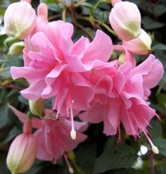 por mp Rare Flowers, Exotic Flowers, Amazing Flowers, Exotic Plants, Beautiful Flowers, Hibiscus Flowers, Pink Flowers, Fuchsia Plant, Pink Garden