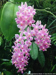 Phalaenopsis Bernice Maskin