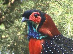 Western Tragopan (Tragopan melanocephalus)