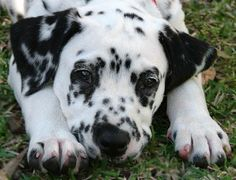 Just doesn't get much cuter than that! I have always wanted a Dalmation