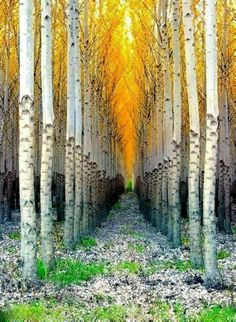 The Aspen is my favorite tree! Nothing beats Aspen in the fall. Aspen, CO Image Nature, All Nature, Beautiful World, Beautiful Places, Beautiful Pictures, Beautiful Forest, Simply Beautiful, Absolutely Stunning, Wyoming