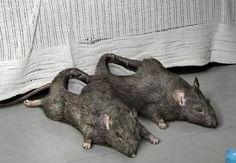 Rat slippers .. ewww... hell naw I would get out of bed and whoop my shoes asses. Rats hell naw......