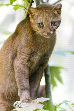 Cute posing jaguarundi   by Tambako the Jaguar
