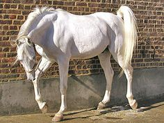 OriginsAbout 3500 years ago the Arabian horse became an essential element in the Egyptian empire. Using them to pull chariots allowed the Pharaohs rule to extend far beyond their own borders. The power and beauty of the mighty Egyptian Arabian has been both carved into hieroglyphs and written in the Bible. Breeding of these animals is taken very seriously and bloodlines are carefully controlled to preserve purity & desired characteristics. In the 19th the ruling families of Egypt selected…