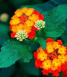 This is an Exotic Summer Flower.It has really pretty colors. Called lantana camara is flowering exotic for sunny spot. me encantan estas plantas, hay diferentes colores Exotic Plants, Exotic Flowers, Amazing Flowers, Beautiful Flowers, Orange Flowers, Red Shrubs, Evergreen Shrubs, Lantana Plant, Lantana Camara