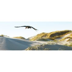 African Oyster Catcher flying over sand dunes - Stuart McHattie at workart.co.za