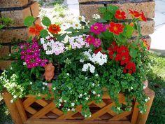 春〜夏の寄せ植え。ナスタチウム、ジニア、バーベナ、バコパ