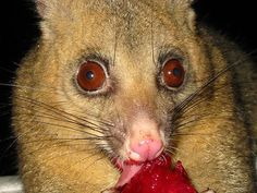 Common Brush Tail Possum (Trichosurus vulpecula) by Peter Firminger from Wollombi, Australia via Wikimedia Commons (cc-by)