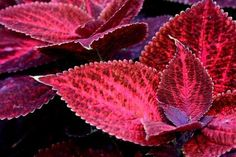 A red leaved Kong Coleus