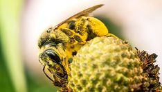 Wild bee supply doesnt match the demand - Futurity  link to original article http://ift.tt/1MCCgGK