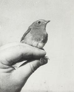 Robin redbreast #vintage
