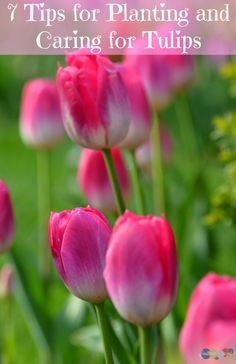 7 tips for planting and caring for tulips so you can enjoy their grace and beauty all season long. Here is how you can get started.