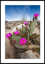 Cactus Blooms Framed Print by Peter Tellone