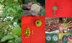 Medicinal Rice based Tribal Medicines for Diabetes Complications and Metabolic Disorders (TH Group-592) from Pankaj Oudhia's Medicinal Plant Database