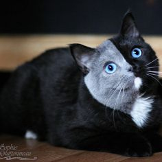 When professional animal photographer Jean Michel Labat's photos of this unique, blue-eyed British shorthair feline hit the Internet, fans had to know more about the gorgeous chimera cat