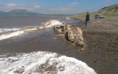 Mysterious Sea Monster With 'Fur And Beak' Washed Ashore On A Russian Beach Baffled Scientist – Latest News Web Mysterious Sea Creatures, Weird Sea Creatures, Beach Photos, Cool Photos, Legendary Monsters, Lake Monsters, Furry Tails, Cryptozoology, Dolphins