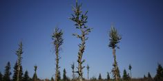 Christmas Trees Are Dying From Drought