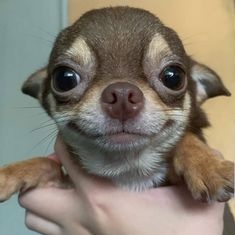 What is a blue chihuahua? How are blue chihuahua puppies different? Cute Little Animals, Cute Funny Animals, Funny Dogs, Little Dogs, Baby Chihuahua, Cute Dogs And Puppies, I Love Dogs, Doggies, Puppies Puppies