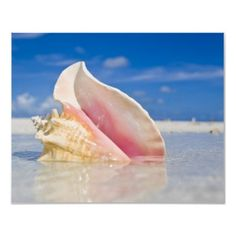 These conch shells at one time were everywhere in the Florida Keys. Now it is unlawful to get them.