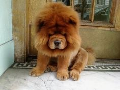 chow chow: I believe my mother likes these dogs and I think I know why, it'd be like having her own miniature lion around the house!