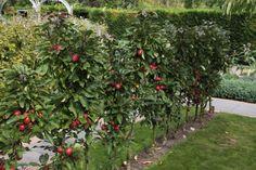 Minitree laagstam fruit