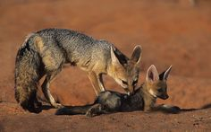 Cape Fox, Vulpes chama, Mother and cub, Kgalagadi Transfrontier Park, Kalahari, South Africa (26026)