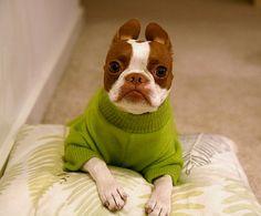 Cute boston terrier in a bright green sweater... i wantttt him!
