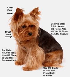 Grooming your yorkie!