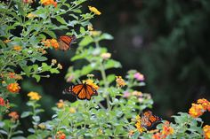 Headwinds are slowing the #migration. Will the #monarchs reach Mexico by their traditional time?