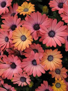 African Daisies Beautiful gorgeous pretty flowers