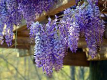 hummingbirds literally flock to this particular wisteria (Amethyst Falls)