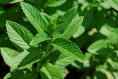 Grow mint in containers to repel mosquitoes