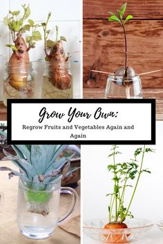 We buy lots of produce each year, but did you know that some of them can be regrown from the leftovers? Well, now you do! Learn how to regrow fruits and vegetables!
