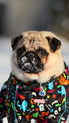 This is what Memphis will look like soon. He loves the snow.