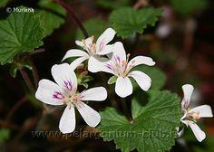 Pelargonium club   p.australe