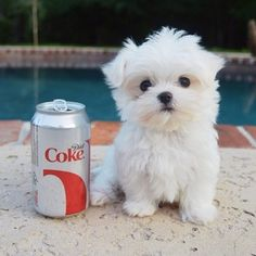 He is a little bit bigger then a Diet Coke can. | Community Post: Monte The Maltese Is The Cutest Puppy You'll Ever Meet