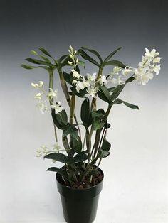 Purchased @ Newfields 03/05/2019  Dendrobium Mini Snowflake  (aberrans x johnsoniae)