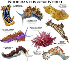 Nudibranches of the World.....ROGER D HALL.....a scientific illustrator specializing in wildlife and architectural subjects....predominantly self-taught....works with pen and ink....artwork has appeared in numerous media (newspaper, books, website, etc)....a Minnesota native now based in Oakland, California....associated with several zoos and aquariums in the US