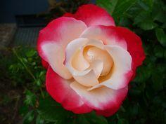Si bien la rosa es una de las flores más populares, hay 8 variedades poco comunes que se destacan por su belleza y rareza