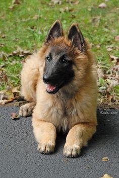Adorable Tervuren puppy from Chimeric Belgian Tervurens #dogs #animal #belgian #tervuren
