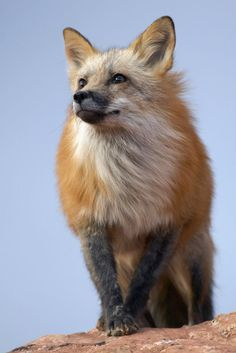 ☀Red Fox Portrait by ~Gregro this fox looks like one I saw in Yellowstone National Park this month, 6-2014