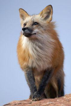 Red Fox Portrait by Gregro.deviantart**