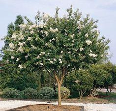 Crepe Myrtle Tree White - Natchez E Myrtle Flowering Tree Plants, Garden Trees, Flowering Shrubs, Crape Myrtle, Plant Catalogs, Trees To Plant, Flowering Trees, Crepe Myrtle Trees, Myrtle Tree