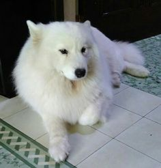 Sanchez the Samoyed