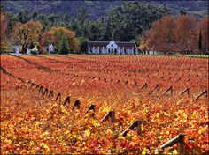 Fall colored vineyards in Paarl, South Africa