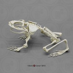 Articulated Goliath Frog Skeleton - Bone Clones, Inc. Skeleton Muscles, Skeleton Bones, Skull And Bones, Skull Reference, Anatomy Reference, Animal Skeletons, Animal Skulls, Sapo Frog, Animal Anatomy