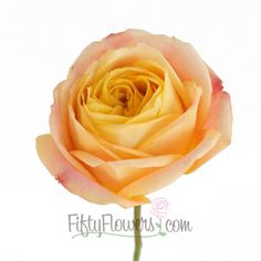 Cabbage Rose Sunset Blended Romantico   The same colors of the setting sun over a beach in a tropical location. Warm yellows and oranges blend together to create an amazing whorl of luscious petals. (FiftyFlowers.com)