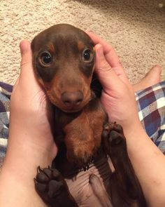 Most up-to-date Pictures dogs and puppies dachshund Tips Perform you're keen on your dog? Obviously, people do. Good doggy caution plus education will make sure bot Dapple Dachshund, Dachshund Puppies, Dachshund Love, Pet Dogs, Dogs And Puppies, Dog Cat, Daschund, Dachshund Clothes, Funny Puppies
