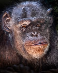 Contented Chimp by David Sharman on 500px